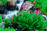 Parry primrose (Primula parryi) can be found near streams and rivers in the Indian Peaks Wilderness, Colorado.
