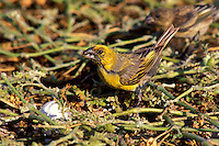 Laysan Finch, male, eating seabird egg on Laysan Is. Endangered Species