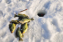 00247-012.11 Black Crappie: Crappies and one sunfish are diplayed on ice with ice rod and bobber in hole.  Fish, angle, lake, river.