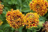 Gaillardia 'Candy Corn' Double Blanketflower . Blanket Flower