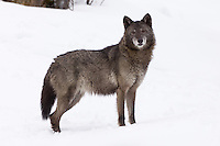 Tundra Wolf standing in the snow - CA