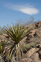 Mojave yucca, Yucca schidigera. Sloan Canyon National Conservation Area, Nevada