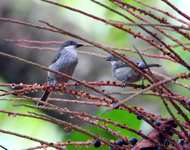 Pair of Puerto Rican tanagers in fruiting tree. This is an endemic species.