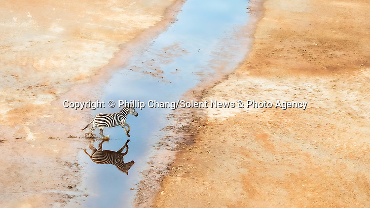 """Pictured: A herd of zebras are reflected on mirror-like water as they run through it.  Aerial photos of the animals show their hooves leaving prints in the sand as they ran through streams.<br /> <br /> Photographer Phillip Chang, 64, took these shots at the Masai Mara national park in Kenya.   Mr Chang, from California, USA, said: """"It was the raining season, and the land were scattered with puddles and ponds from the rain.   SEE OUR COPY FOR DETAILS<br /> <br /> Please byline: Phillip Chang/Solent News<br /> <br /> © Phillip Chang/Solent News & Photo Agency<br /> UK +44 (0) 2380 458800"""