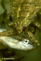 WS11-012c   Giant Waterbug nymph consumes fish - Lethocerus spp...