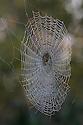 Garden Spider female (Araneus diadematus) in orb web. Thursley Common National Nature Reserve, Surrey, UK. October.
