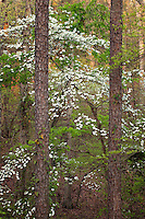 pine tree trunks and flowering dogwood trees in bloom, Holly Springs National Forest, Mississippi