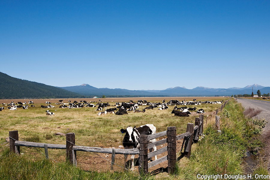 Cattle ranching, south of Crater Lake, Oregon.  Crater Lake, the most famous feature of Crater Lake National Park spans five miles and is ringed by nearly 2,000 foot cliffs formed by the collapse of a volcano called Mount Mazama.  The 1,943 foot lake is the deepest lake in the U.S. and one of the deepest in the world.  Crater Lake National Park, in Oregon, is a highlight of the National Volcanic Scenic Byway.