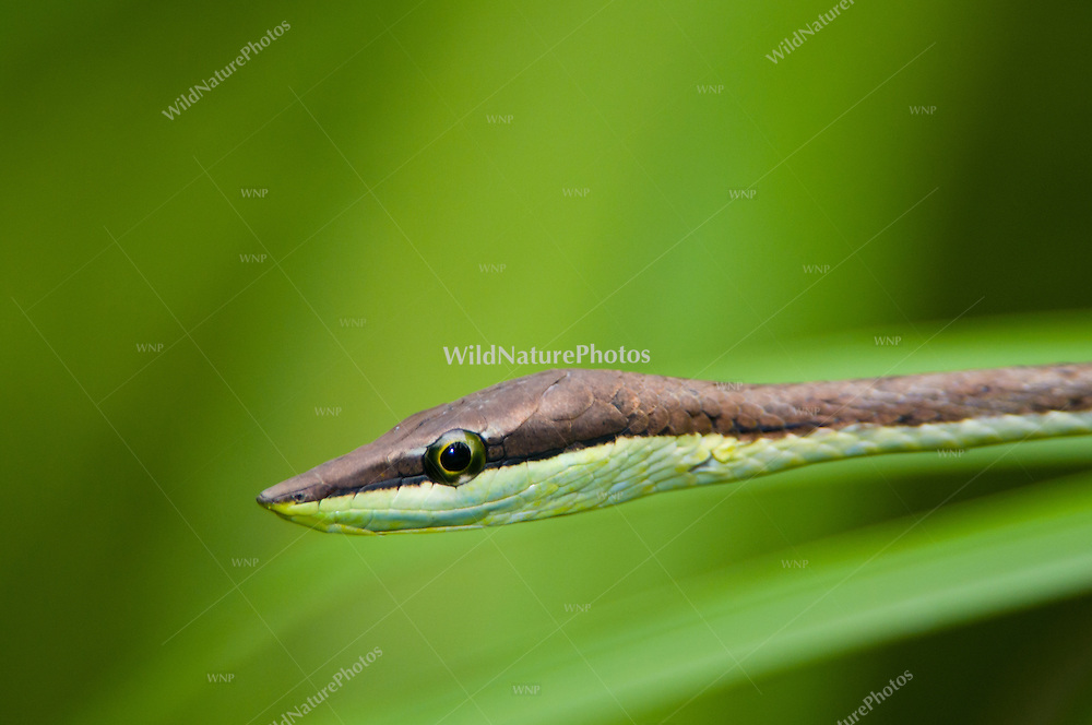 Colon snake