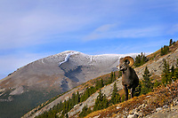 Near full curl Bighorn Sheep Ram (Ovis canadensis) in mountain habitat.  Northern Rockies.  Fall.