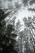 Phillip Island, Australia. Eucalyptus trees in the mist.