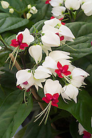 Clerodendrum thomsoniae, common name of Bleeding Heart Vine or Glory Bower, in red and white flowers, native to tropical west Africa from Cameroon west to Senegal