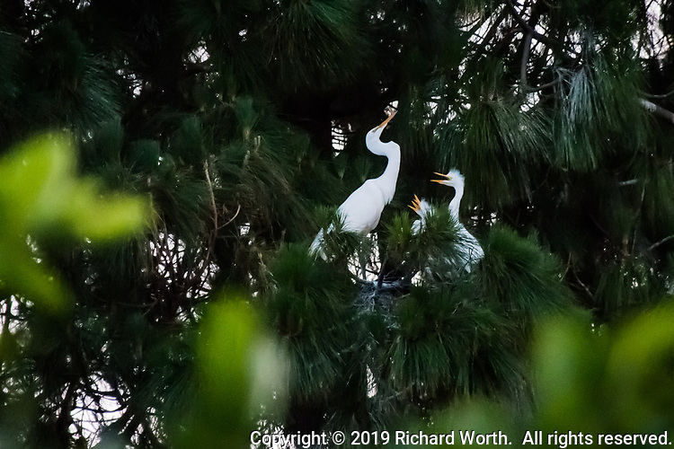 A Great egret mother with her brood of three fledglings high in a nesting tree in Alameda, California.