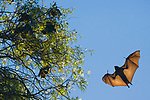 Madagascan Flying Foxes, Berenty Private Reserve, Toliara Province, Madagascar