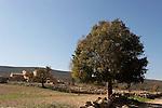 T-046 Mediterranean Hackberry in Yanun