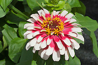 Zinnia Swizzle Cherry and Ivory in summer garden bloom in two colors red and white