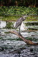 A green heron perched on a log in a wetlands area in Madison, Wisconsin.