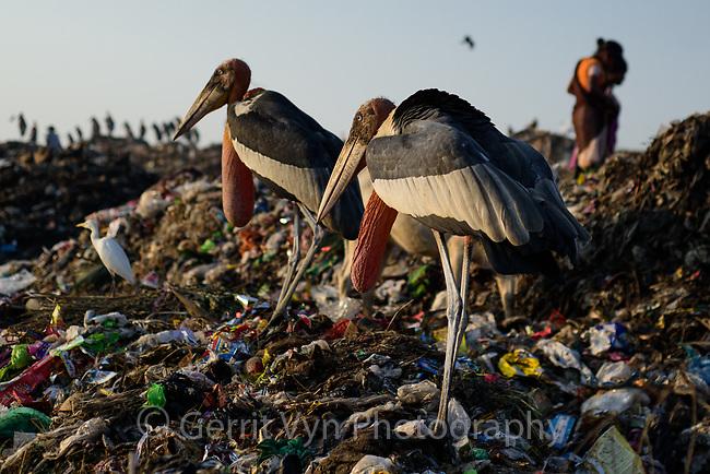 Greater Adjutants and ragpickers at Boragaon Landfill. Assam, India.