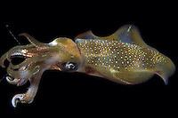 Oval squid, Sepioteuthis lessoniana, eating shrimp.  Indonesia.