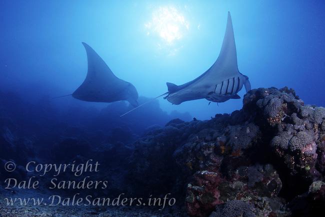 Manta Rays (Manta birostris) flys underwater off the Island of Yap in Micronesia.