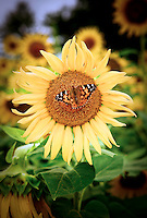 Sunflower scenic maryland virginia dc flowers butler's orchard
