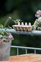 Kohlmeise, Eierkarton, Eierschachtel, Eierpappe, Eierpappen wird mit Vogelfutter gefüllt und mit Kabelbindern am Geländer, Balkongeländer fixiert. Einweg-Futterschale, wenn die Pappe verschmutzt ist, kann sie einfach entsorgt und durch eine neue ersetzt werden. Vogelfütterung, Futterstelle auf dem Balkon, Dachterrasse. Kohl-Meise, Meise, Meisen, Parus major, Great tit, tit, tits, La Mésange charbonnière