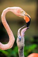 adult and juvenile caribbean flamingo, Phoenicopterus ruber, Bonaire, Netherland Antilles