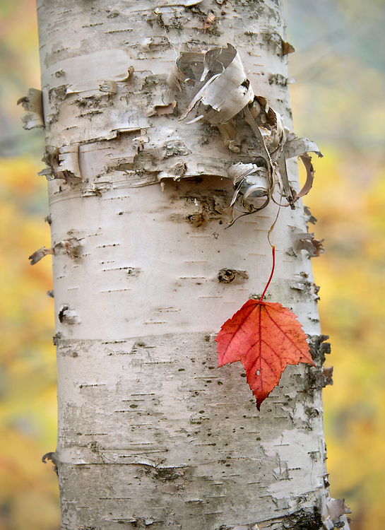 A single maple leaf caught in the tendrils of a paper birch tree along the Jesup Trail in Acadia National Park, Maine, USA