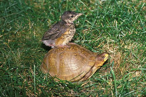 Baby robin rides box turtle through grass, Midwest USA