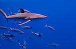 Silky shark, Palau deep open ocean 2018