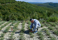 ALBANIA, Cape Rodonit, processing of herbal and medical plants at company Naturalba/ ALBANIEN, Kap Rodonit, Verarbeitung von Heil- und Gewuerzpflanzen bei Firma Naturalba, Versuchsfeld