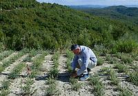ALBANIA, Cape Rodonit, processing of herbal and medical plants at company Naturalba/ ALBANIEN, Kap Rodonit, Verarbeitung von Heil- und Gewuerzpflanzen bei Firma Naturalba, Versuchsfeld