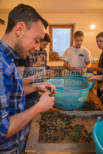 Italie, Val d'Aoste, Hône: Préparation de la Micoula pour  le marché de Noël, lors de la Fête de la Micoula, ce pain est typique de la Vallée d'Aoste - Le pain sucré appelé micoula est fait à base de farine intégrale de blé et de seigle, de châtaignes, raisins secs, beurre, oeufs, sel et sucre. égrappage des raisins // Italy, Aosta Valley, Hône: Preparation Micoula for the Christmas market at the Festival Micoula, this bread is typical Aosta Valley, - The sweet bread called micoula is made based on wholemeal wheat and rye, chestnuts, raisins, butter, eggs, salt and sugar