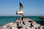 Gull in flight, Miami Beach.