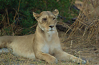 Lion with an injured eye from a previous fight. This pose was captured in Botswana Africa,