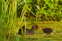 Common Moorhen--adult with young.  Southern swamp.  May.