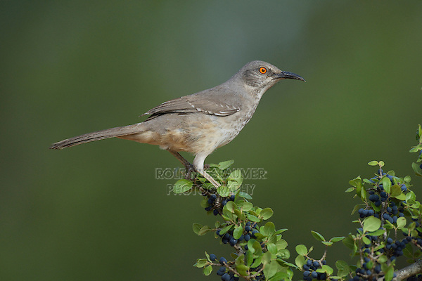 Curve-billed Thrasher (Toxostoma curvirostre), adult perched on berry laden Elbow bush (Forestiera pubescens), Rio Grande Valley, South Texas, Texas, USA