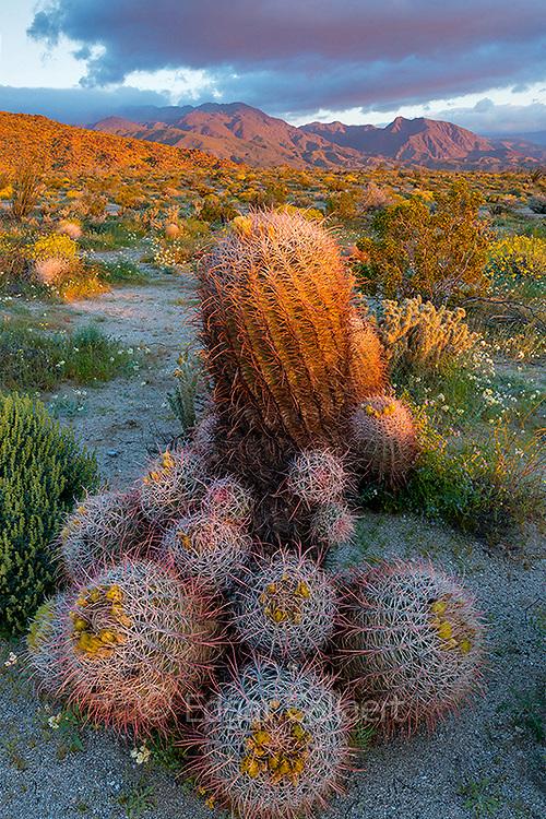 Sunrise, Barrel Cacti, Anza-Borrego Desert State Park, California
