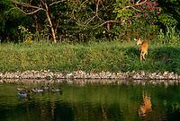 Deer  looks back startled by passing Mallard ducks in rural lake, Midwest USA-