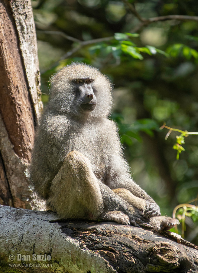 Male Olive Baboon, Papio anubis, in Arusha National Park, Tanzania
