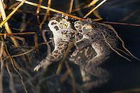 Wechselkröte, Wechsel-Kröte, Grüne Kröte, Paarung, Kopulation, Männchen huckepack auf dem Weibchen, Laichen, Bufotes viridis, Bufo viridis, green toad