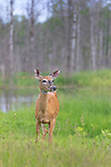 White-tailed deer standing in a northern Wisconsin field.