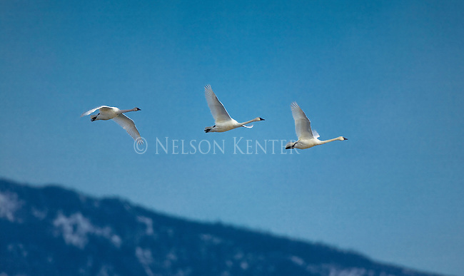 Swans flying over the Bitterroot Valley in western Montana