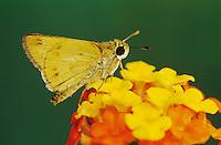 Fiery Skipper, Hylephila phyleus, adult on Texas Lantana (Lantana urticoides) , Willacy County, Rio Grande Valley, Texas, USA