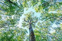 France, Allier, Bourbonnais, Troncais forest, Isle et Bardais  Emile Guillaumin oak // France, Allier (03), Bourbonnais, forêt de Tronçais, Isle-et-Bardais, chêne Émile Guillaumin