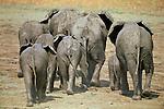 Herd of African Elephants (Loxodonta africana) walking towards waterhole. South Luangwa National Park, Zambia
