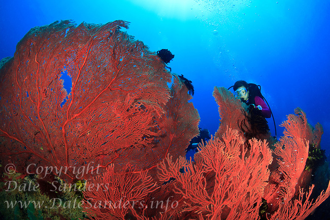 A female scuba diver observing the crinoids on the huge gorgonian corals found on Vanessa's Reef in Kimbe Bay off New Britain Island, Papua New Guinea.