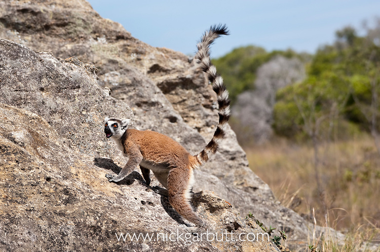Ring-tailed Lemur (Lemur catta) clambering over rocks. Isalo National Park,  southern Madagascar.