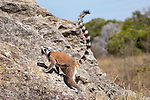 Ring-tailed Lemur (Lemur catta) clambering over rocks. Isalo National Park,  southern Madagascar.