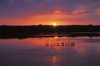 Roseate Spoonbills, Ding  Darling National Wildlife Refuge, Florida.  March sunset.